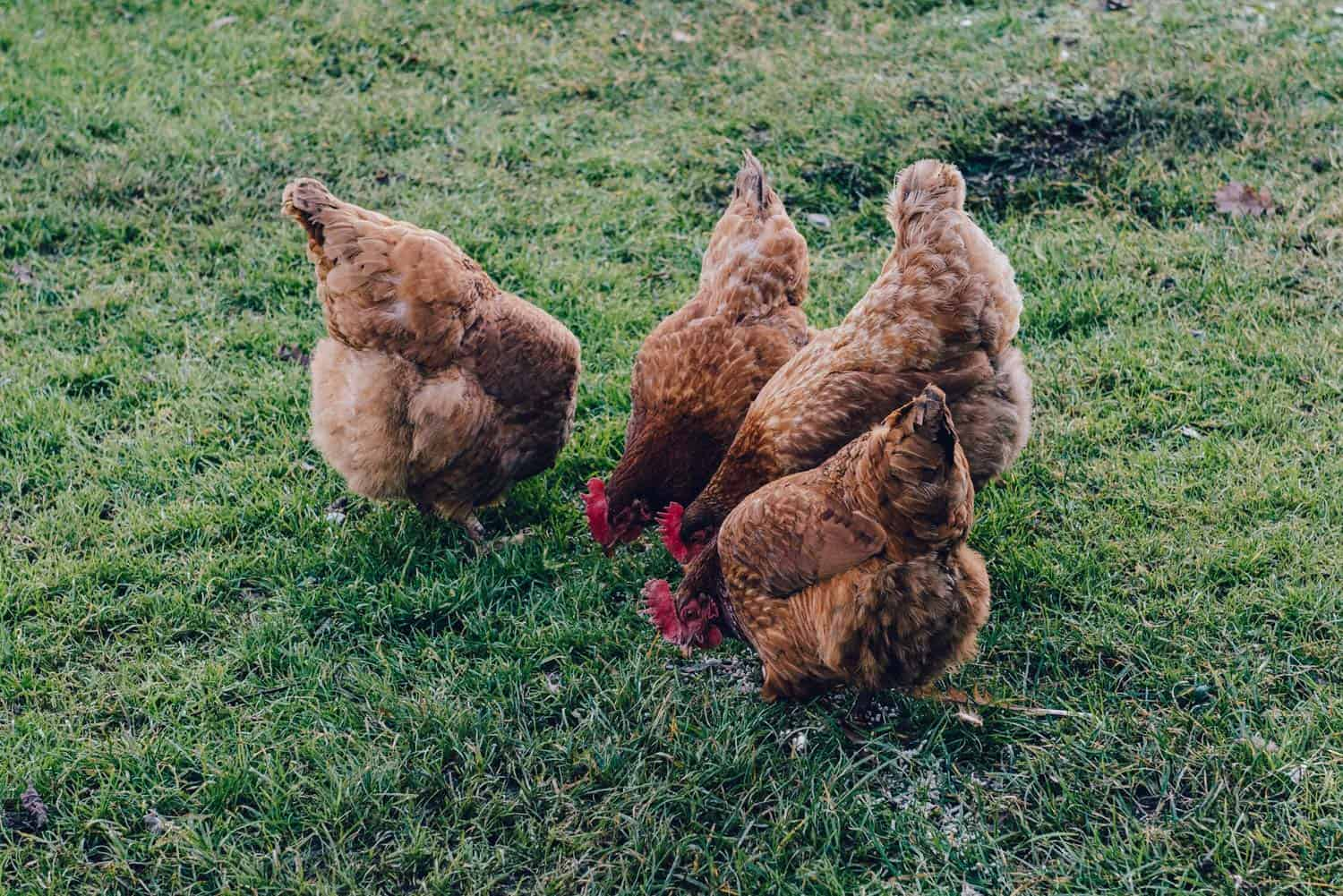 Sustainability in Egg Farming - Red Hens